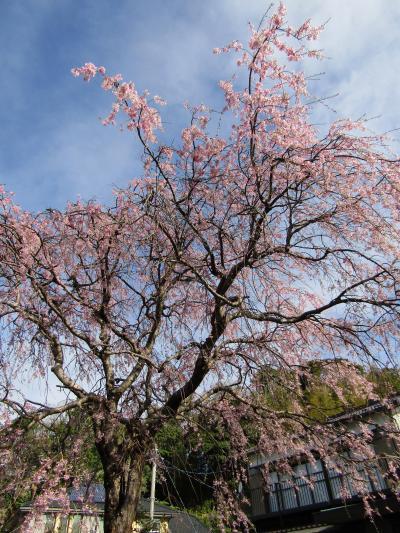 実方家の紅枝垂れ桜は散り始めです-2021年