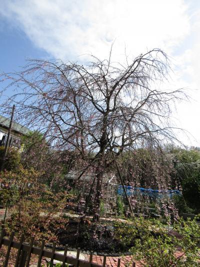 今年見付けた三枚畑の枝垂れ桜が4、5分咲きです
