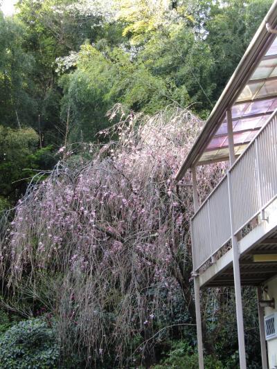 堀内家の紅枝垂れ桜が3分咲きです-2021年
