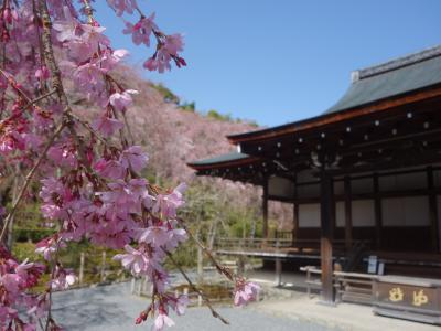 天龍寺の枝垂桜が見ごろでした。ここの枝垂桜は早咲きです。庭園もすばらしい。