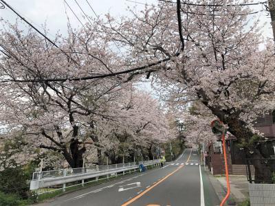 鎌倉山のさくら並木