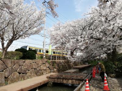二ヶ領用水宿河原堀の桜