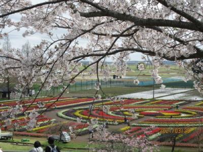 柏市のあけぼの山農業公園・さくら・2021年3月