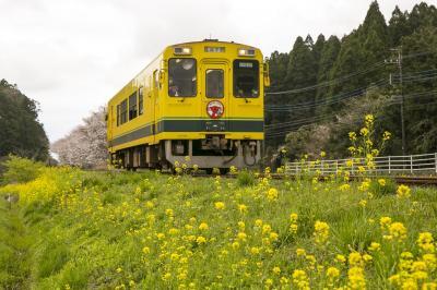 いすみ鉄道車両も沿線も菜の花色
