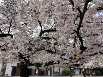 知多半島半田市にてうなぎを食す。& 東本願寺の名古屋東別院の桜、満開でした。