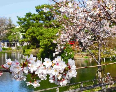 桜を求めて近場を放浪【結果的に水辺の桜風景となりました】