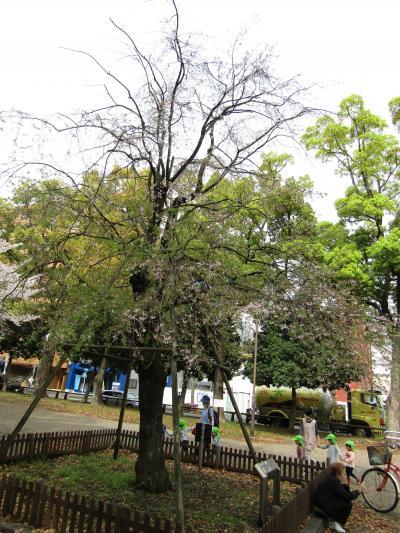 歌丸桜は葉桜です