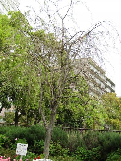 八重紅枝垂桜も葉桜です(大通り公園)