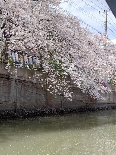 大岡川を遡る インタコクルーズ船 ル グランブルーでのお花見クルーズ