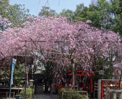 水火天満宮の枝垂桜も見ごろでした。