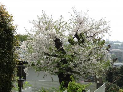 大島桜の大木が残る家