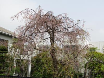 地蔵坂上の紅枝垂れ桜の散り際