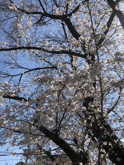 2021/3 与野公園の桜