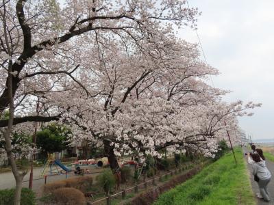 安楽亭と八王子の桜見物のポタリング 2021/03/30