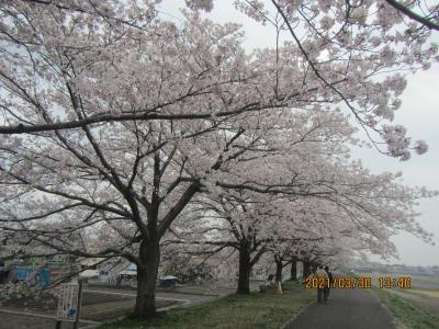福生駅→多摩川沿い歩きで羽村堰、川沿いを歩きながら楽しめる桜並木→玉川上水の桜を楽しみながら福生駅へ