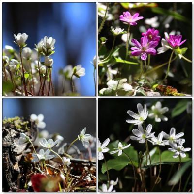 ◆春風の福島路・野の花便り~ユキワリソウ etc