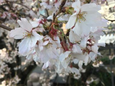 2021年の桜 海蔵川