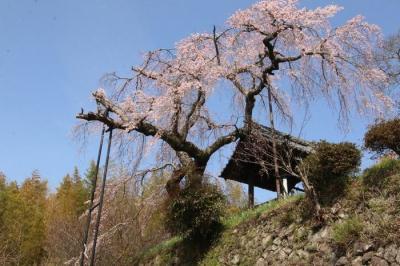 地蔵禅院しだれ桜2021