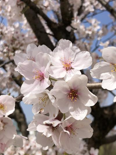 富山市環水公園にて桜見物
