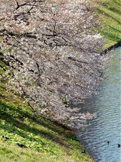 「 春をさがしに 日比谷公園 ~ 国立劇場~ 千鳥ヶ淵公園 さんぽ 」 2021