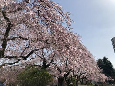 仙台の桜が観測史上最速で満開となりました