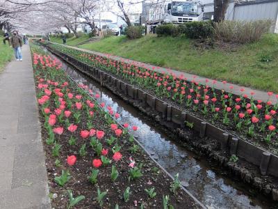 横浜市都筑区の江川せせらぎ緑道でチューリップと桜の競演