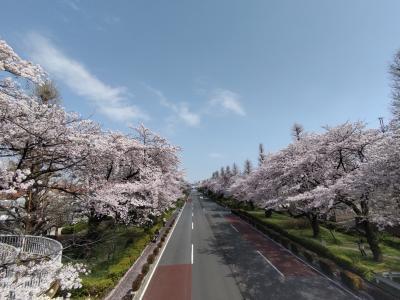 くにたち 大学通り 桜満開!