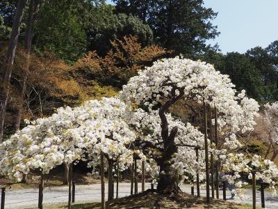 2、3日しか咲かないといわれる千眼桜が満開の大原野神社