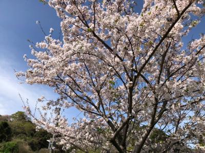 お天気が良いので小学生の孫と歩いて愛宕山の花見をしてきました。