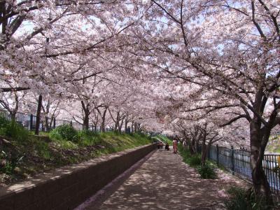 大阪・高槻は春爛漫 桜満開の三島・玉川の里から桜便り~21