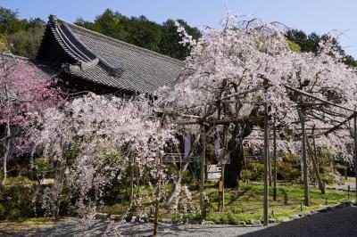 20210331-1 京都 毘沙門堂も桜の名所やねぇ