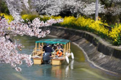 20210331-2 京都 山科疏水の花見は、菜の花も見頃