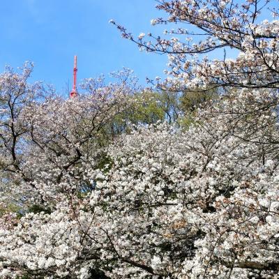2021年 2月 神奈川・鶴見 ここは桃源郷!?満開の桜が咲き誇る三ツ池公園でお花見散歩