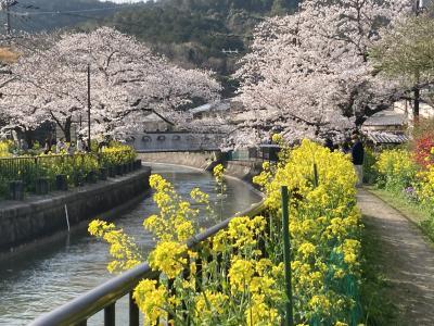 桜の都 京都