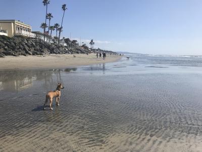 コロナ禍てくてくサンディエゴ5 ドッグビーチ