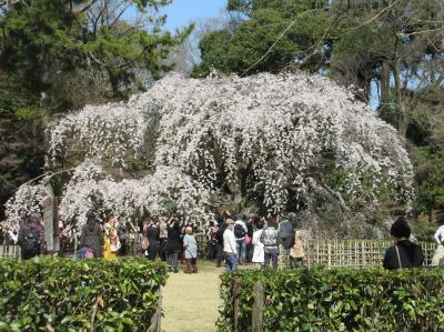 京都御苑・早咲きの桜と 大徳寺聚光院・7年ぶりの文化財特別公開を訪ねて