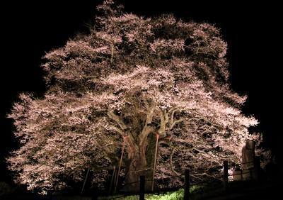 後醍醐天皇が隠岐に配流された時愛でたとの伝説から名付けられた樹齢千年の醍醐桜と12度目の逢瀬