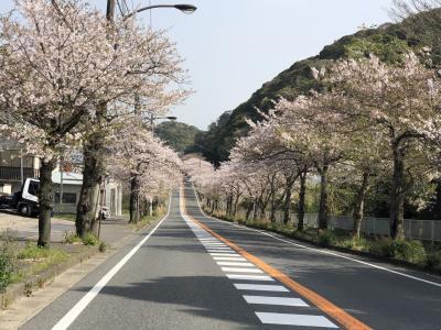 通研通りの桜が咲き誇っています🌸