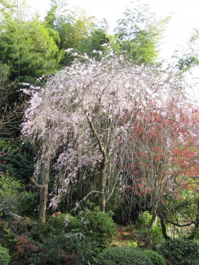 堀内家の紅枝垂れ桜が満開です-2021年