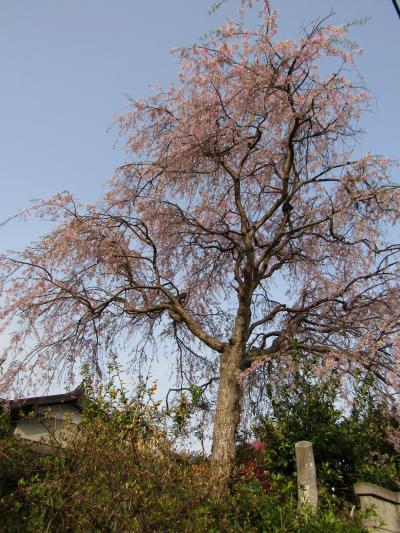 実方家の紅枝垂れ桜の散り際-2021年
