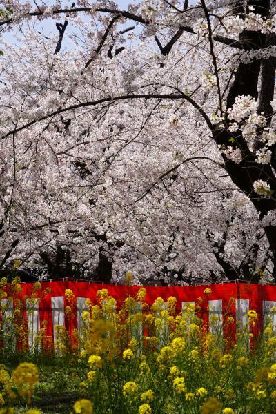 20210331-4 京都 午後からは平野神社。賑わってますが、桜養生園はわりとゆっくり花見でした。