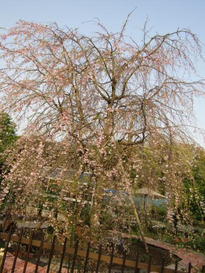 今年見付けた三枚畑の枝垂れ桜が満開です