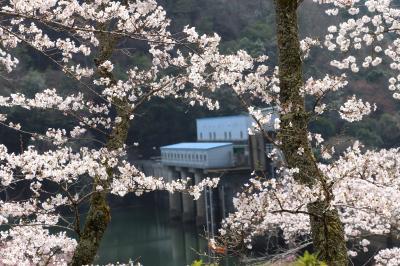 密を避けて大野ダムの桜を愛でる