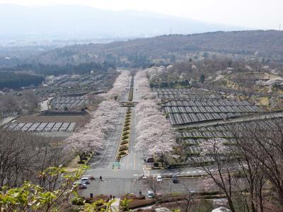 富士霊園で桜を見て来ました 2021.03.27 =2.富士霊園の桜=