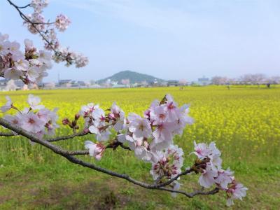 桜巡り  !  橿原・藤原京跡