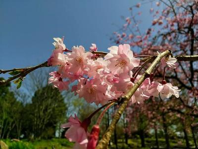桜満開♪春爛漫♪ 水生植物園 みずの森