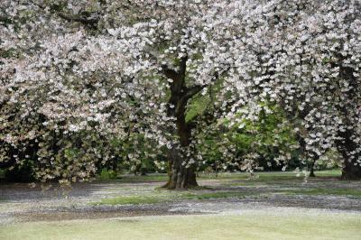 桜咲く、新宿御苑へ行ってきました。