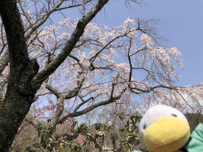 2021 京都の桜の歩き方