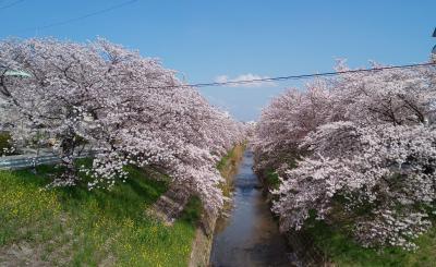 桜まつりの続きの佐保川