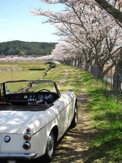 美波羅川の千本桜へ行ってミタ。 広島 三次市